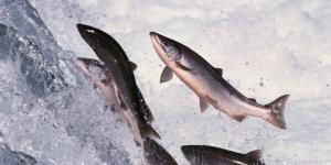 Omega 3 Salmone - Scorta per anno - 12 confezioni