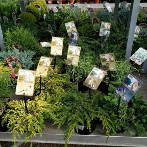 AGRICOLA Home & Garden Conifere In Varieta' 20-25 Cm