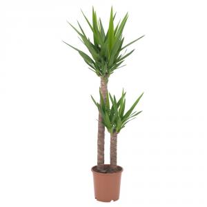 AGRICOLA Home & Garden Yucca 45/20 Pianta Verde Da Interno Piante E Fiori