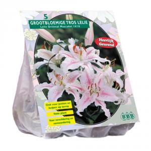 BALTUS Lilium Oriental Muscadet Pezzi 3 Bulbi Da Fiore Semina In Primavera