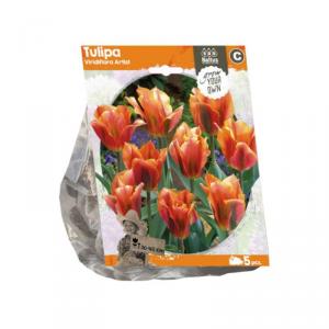 BALTUS Tulipa viridiflora artist bulbi da fiore in formato sacchetto