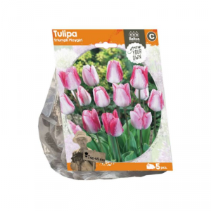 BALTUS Tulipa triumph playgirl bulbi da fiore in formato sacchetto
