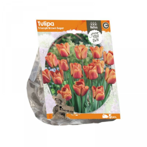 BALTUS Tulipa triumph brown sugar bulbi da fiore in formato sacchetto