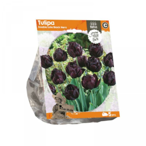 BALTUS Tulipa double late black hero bulbi da fiore in formato sacchetto