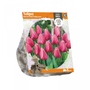 BALTUS Tulipa darwin hybrid big love bulbi da fiore in formato sacchetto