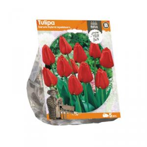 BALTUS Tulipa darwin hybrid apeld. bulbi da fiore in formato sacchetto