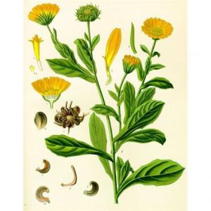 Herbo Veneta Olio di Calendula