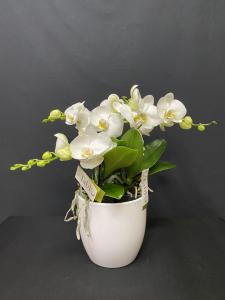 Orchidea Phalaenopsis Tablo 5/6 rami