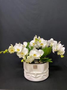 Orchidea Phalaenopsis Tablo 7/8 rami coprivaso Bidone Design