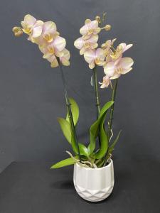 Orchidea Phalaenopsis classica 2/3 rami