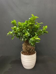 Ficus Ginseng medio
