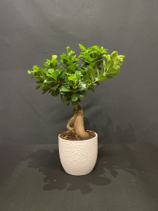 Ficus Ginseng piccolo