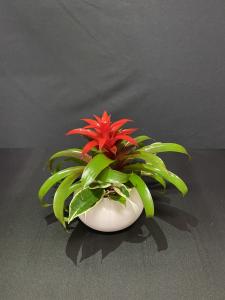 Bromelia Guzmania