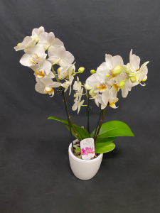 Orchidea mini