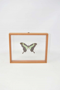 Painting Room With Butterfly True Papilio Phorcas (papilionidi) Africa 22x18 Cm