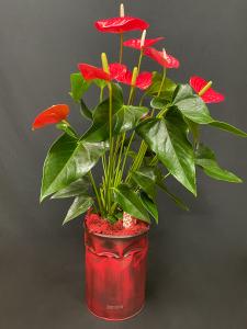 Anthurium con coprivaso Bidone Design